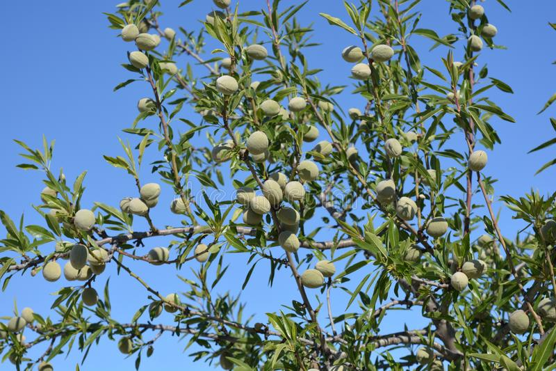 Amandelen die op boom in de lente groeien stock foto's