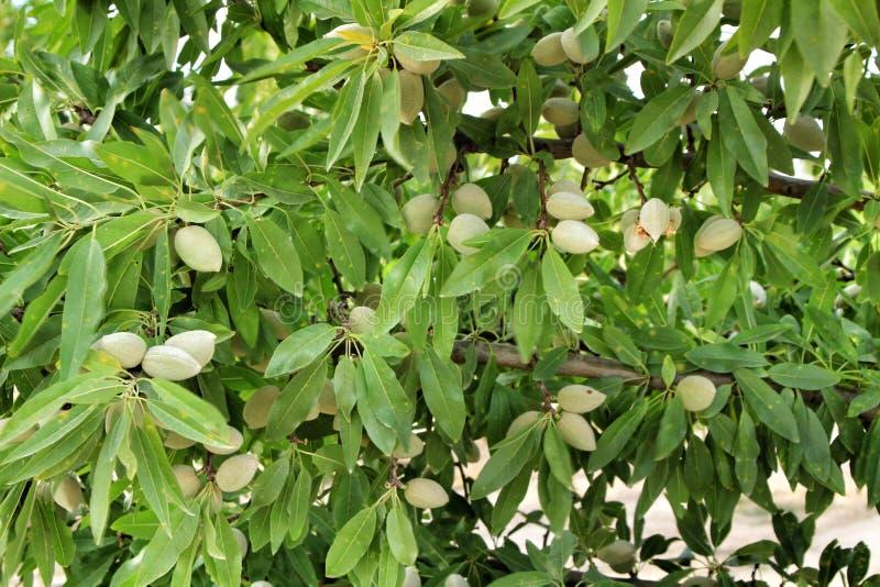 Amandelen op de boom na het bloeien stock afbeelding