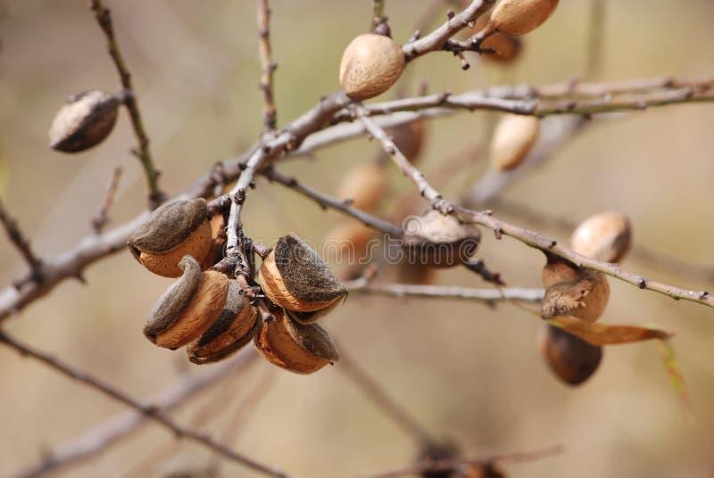 Amandelnoot het groeien op amandelboom stock foto's