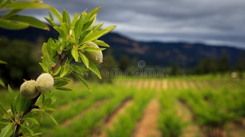Amandeltak in wijngaard royalty-vrije stock afbeelding