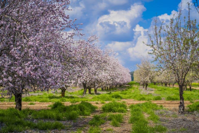 Amandeltuinen, Amandelboomgaard in bloei, Judea-vlaktes Israël stock afbeelding