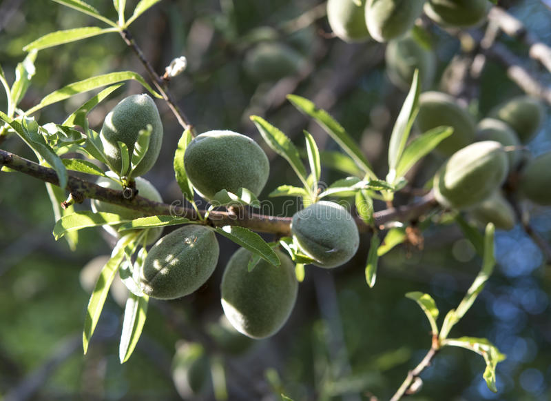Amandes non mûres sur l'arbre d'amande photos libres de droits