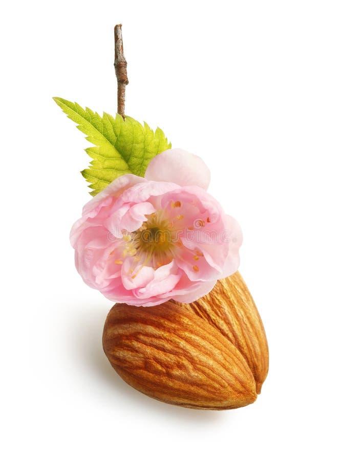 Amandes nuts avec la fleur d'isolement images libres de droits