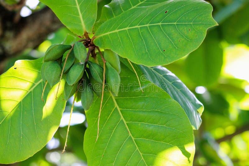 Amandes tropicales - catappa de Terminalia image libre de droits