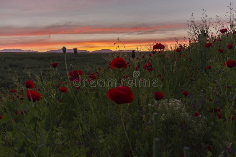 Amanecer del sol en el campo de la amapola fotografía de archivo