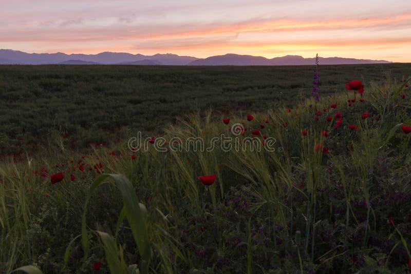 Amanecer del sol en el campo de la amapola foto de archivo