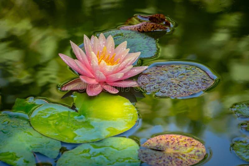 Amanhecer do lírio de água ou da flor de lótus cor-de-rosa na lagoa Por do sol alaranjado de Perrys do Nymphaea com fundo borrado foto de stock royalty free
