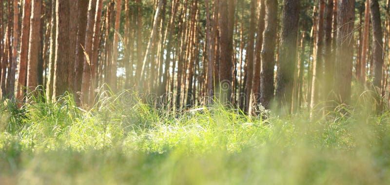 Amanhecer no verão indiano da floresta do pinho na floresta conífera no tempo ensolarado na manhã imagens de stock