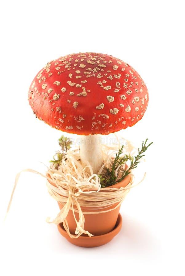 Amaniet in pot stock foto's
