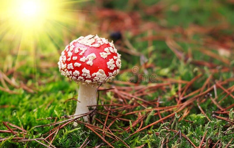 Amanietmuscaria, giftige paddestoel De foto is genomen op de natuurlijke bosachtergrond royalty-vrije stock afbeelding