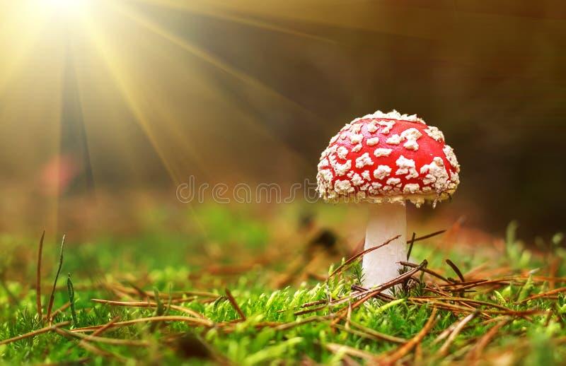 Amanietmuscaria, giftige paddestoel De foto is genomen op de natuurlijke bosachtergrond stock foto's
