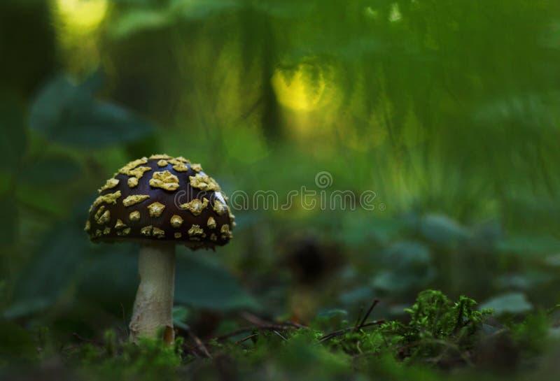 Amanietregalis stock fotografie