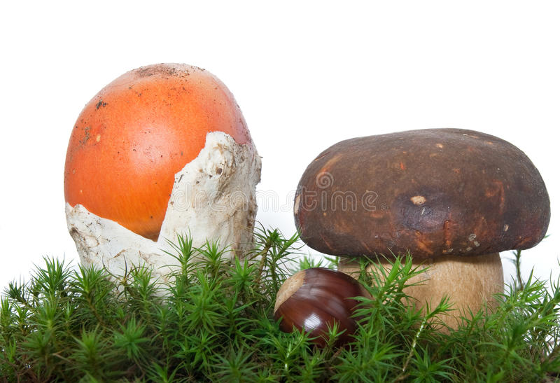 Amanita and Boletus mushrooms with chestnut royalty free stock photos