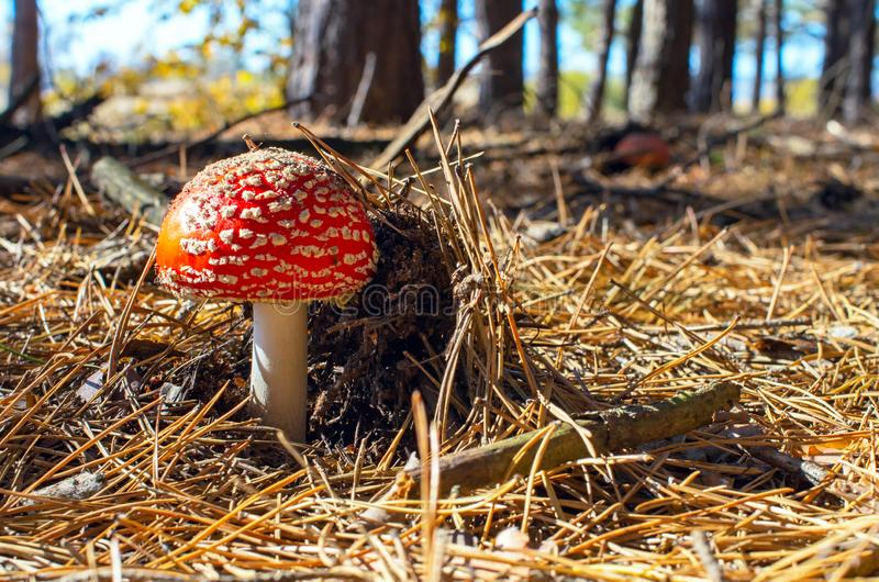 Little amanita growing in a pine forest stock image