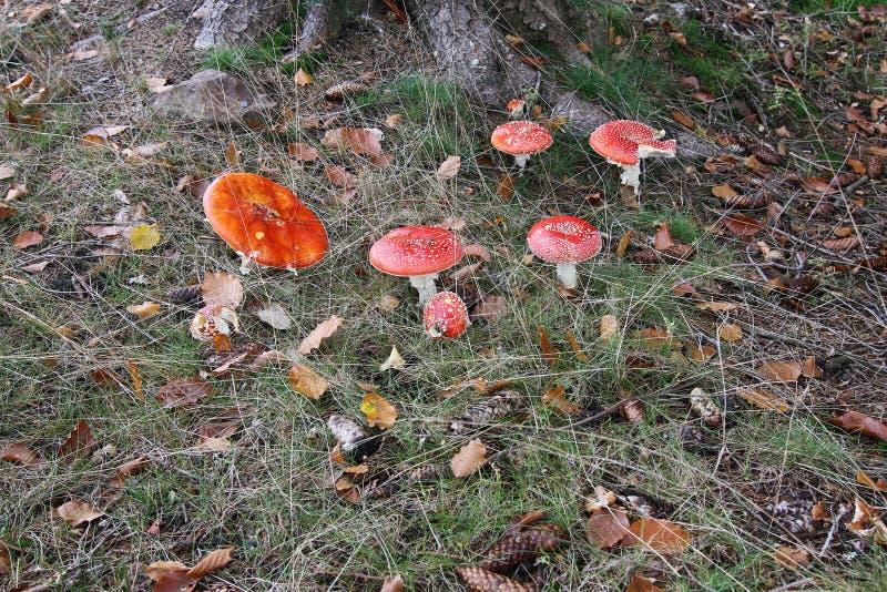 Amanita för klipskt gift i en skog arkivbild