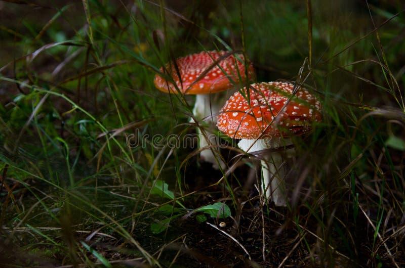 Amanita för två lös champinjoner och grönt gräs i våt jord i skogen royaltyfri foto