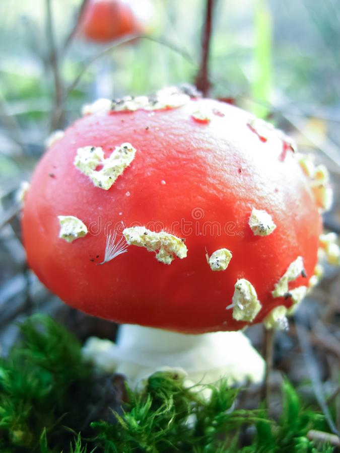 Amanita Fly red wild mushroom in wood. Wild mushroom Close up picture of  wild mushroom in nature royalty free stock photo