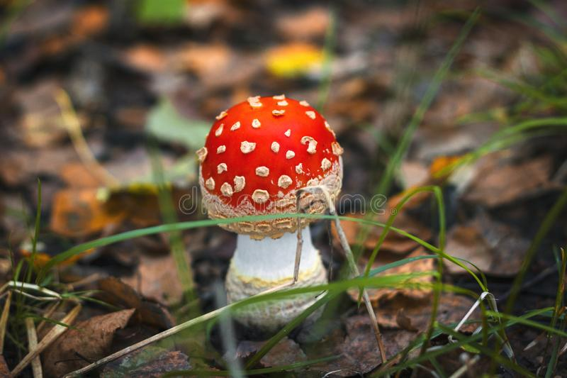 Amanita in the forest royalty free stock image