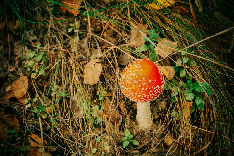 Download Amanita i Forest Filtered arkivfoto. Bild av växt, lock - 106830018