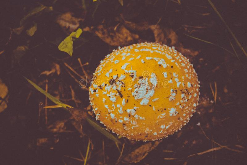 Download Amanita i Forest Filtered arkivfoto. Bild av natur, gift - 106830250