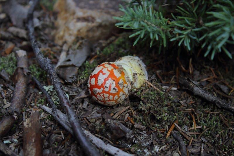 Amanita muscaria/κόκκινο μανιτάρι με τα άσπρα σημεία στο silverton Κολοράντο στοκ εικόνες
