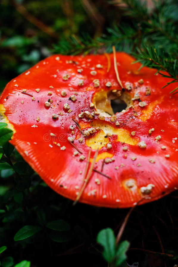 Download Amanita Muscaria- Fly Agaric Stock Photos - Image: 27059513