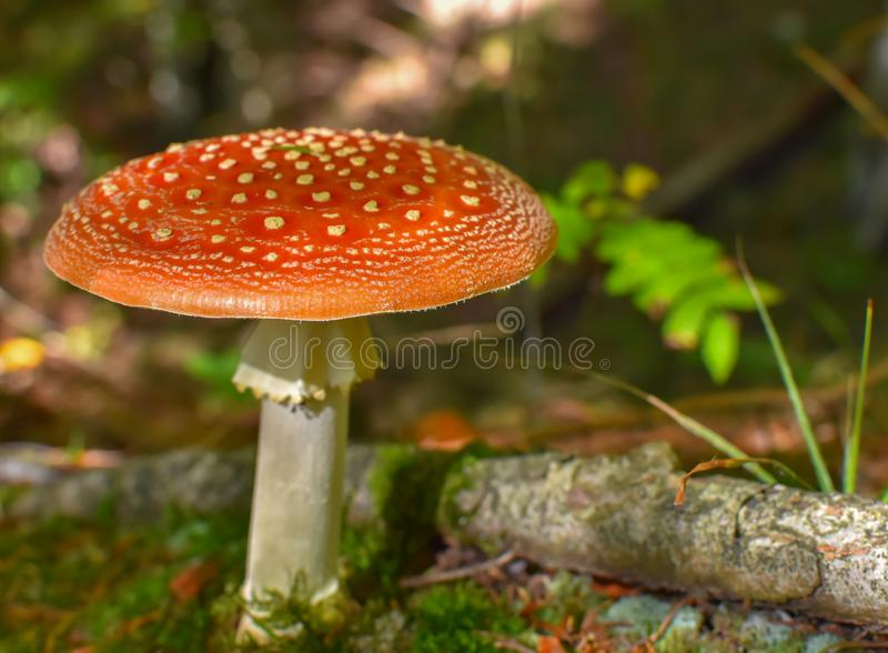 Amanita muscaria or fly agaric in autumn forest stock photo
