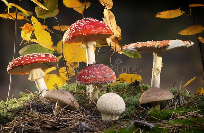 Amanita muscaria fly agaric red mushrooms with white spots in grass.  stock photos