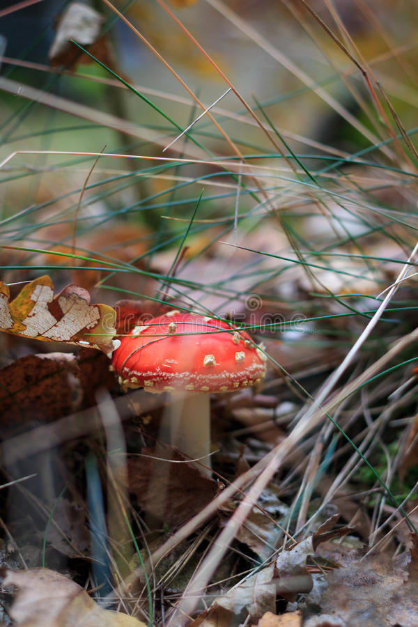 Download Amanita Muscaria stock photo. Image of background, white - 34453538