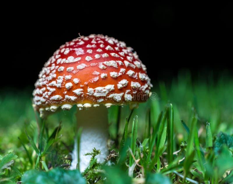 Amanita muscaria Mushrooms royalty free stock image
