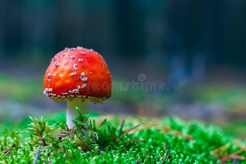 Amanita Muscaria poisonous mushroom. Amanita Muscaria. Red poisonous Fly Agaric mushroom in forest royalty free stock photography