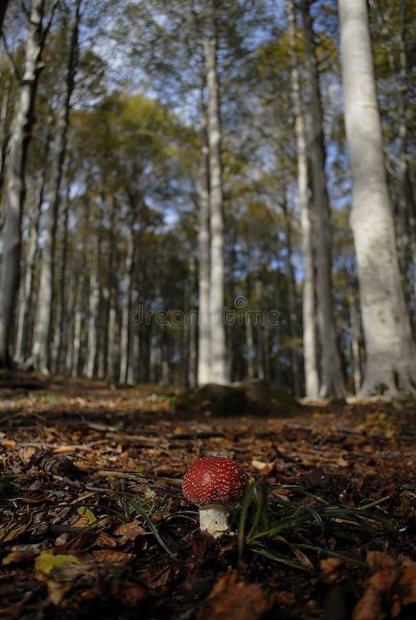 Amanita muscaria w bukowym bosch fotografia stock