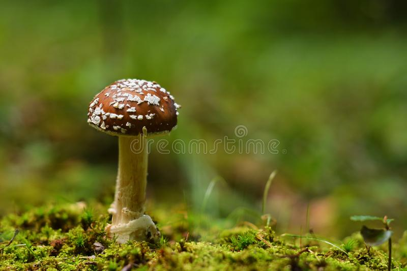 Amanita pantherina mushroom royalty free stock image