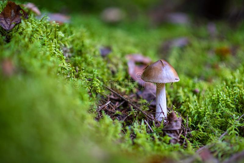 Amanita phalloides in the forest. Poisonous mushroom, commonly known as the Death Cap royalty free stock images