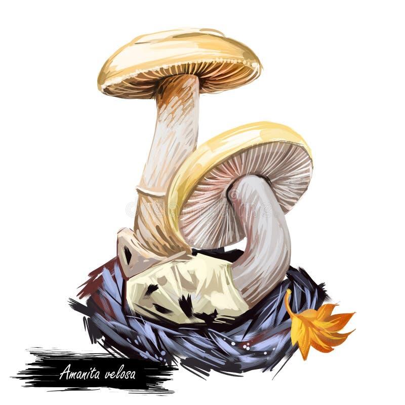 Amanita velosa mushroom closeup illustrazione digitale Coltivazione di ortaggi 'Clipart' da terra nella stagione autunnale, fungo royalty illustrazione gratis