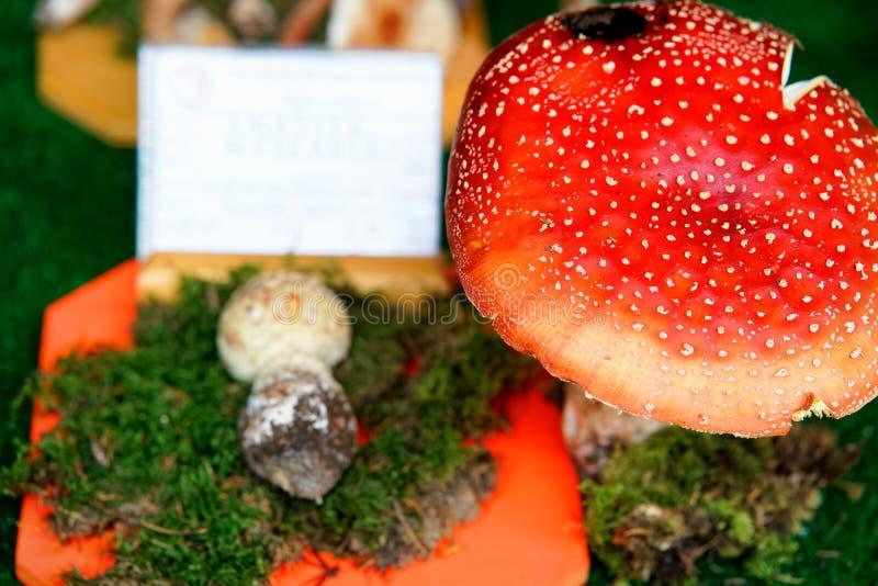 Amanita w mikologicznej wystawie pieczarki w Mantua zdjęcie stock