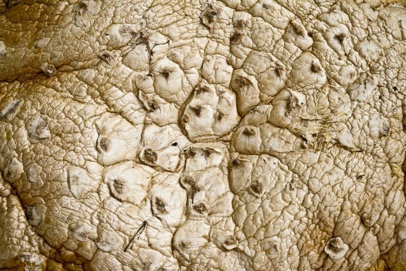AmanitaMuscaria mashroom royaltyfri bild