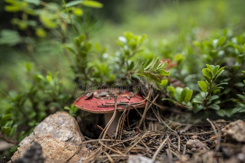 Amanitamuscariaflugsvamp Bokeh royaltyfria bilder