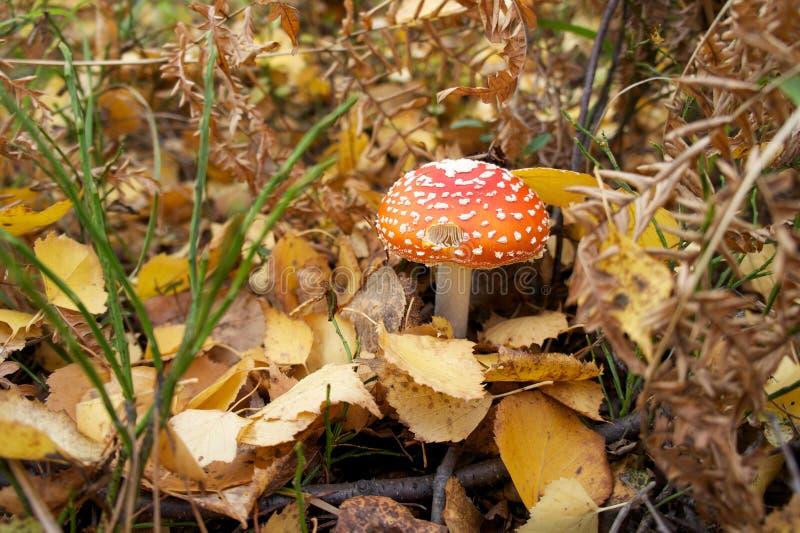 Amanite d'automne photo stock