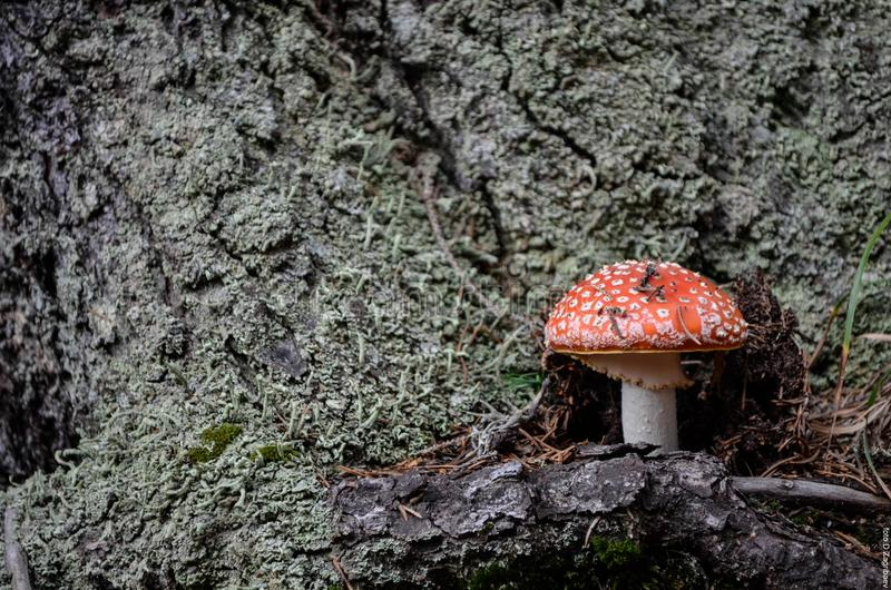 Amanite dans la forêt photographie stock libre de droits