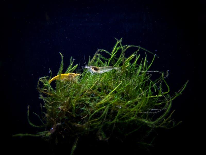 Amano e camarão amarelo que penduram para fora em uma bola do musgo imagens de stock
