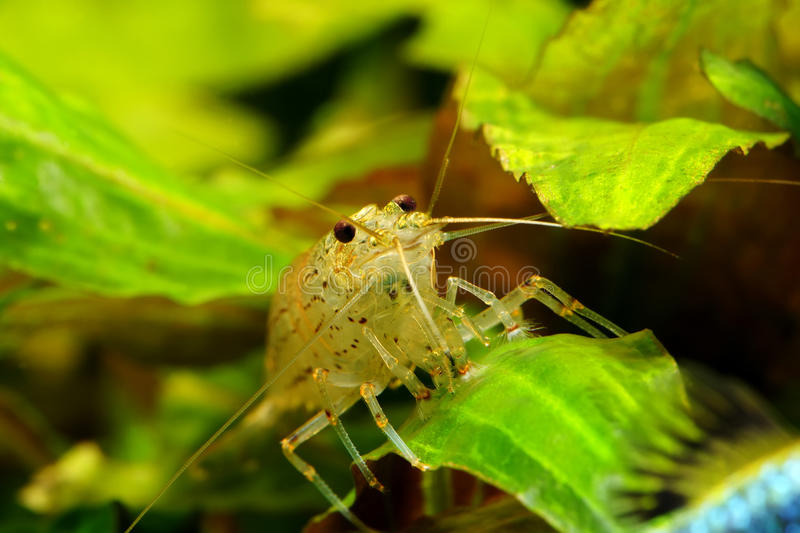 Amano shrimp. Shrimp in the leaves Cryptocoryne. Caridina japonica. Front view stock images