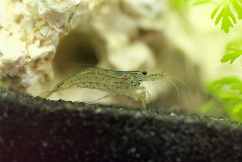 Amano shrimp, Caridina multidentata. An Amano shrimp, Caridina multidentata, in an aquarium with a white rock and water plants royalty free stock photography