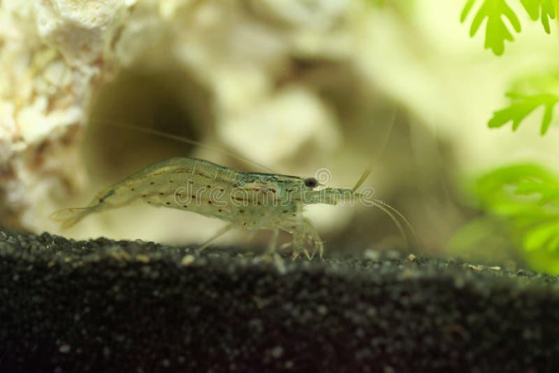Amano shrimp, Caridina multidentata. An Amano shrimp, Caridina multidentata, in an aquarium with a white rock and water plants royalty free stock photos