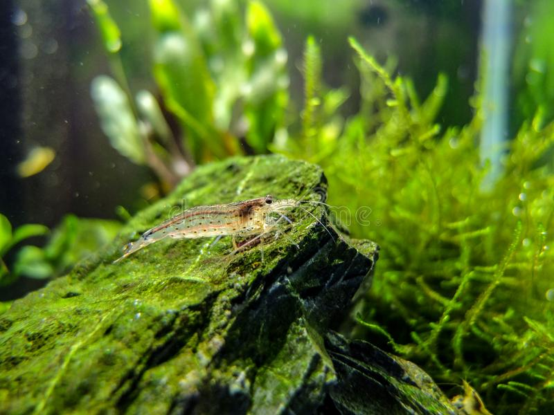 Amano shrimp in tropical nano freshwater tank. With mossy plants in the background stock images