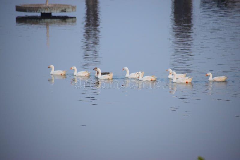 Amante impresionante del lago del amante del pato de la visión fotos de archivo libres de regalías