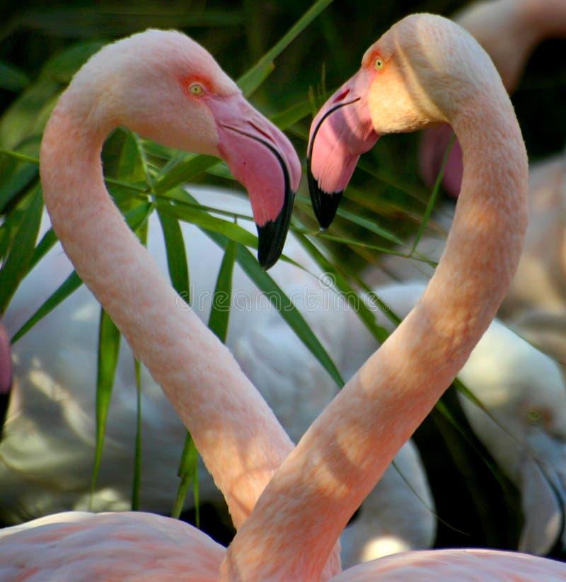 Amantes do flamingo fotografia de stock royalty free