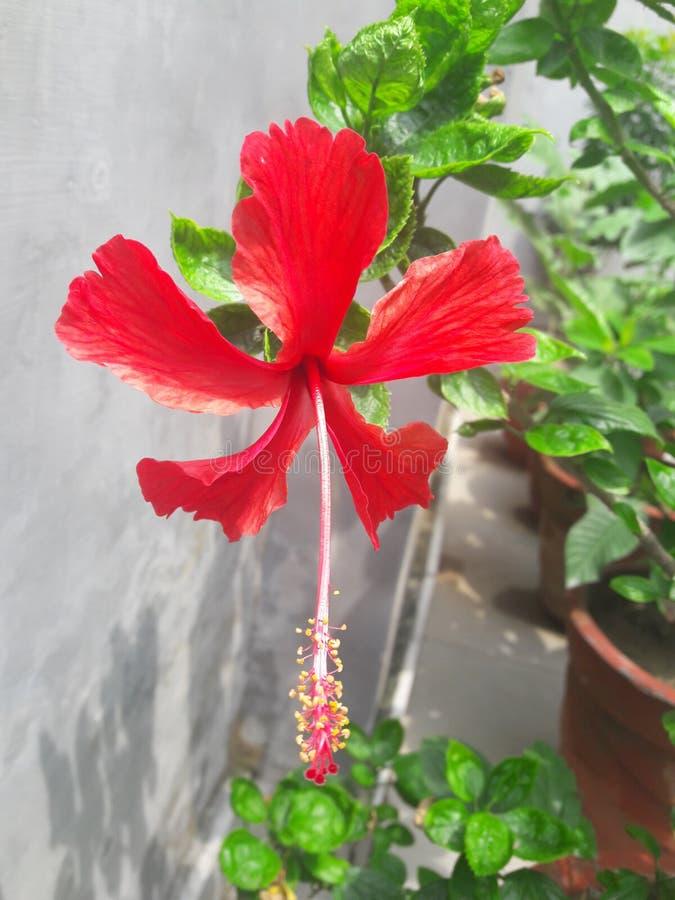 Amantes vermelhos, do jardim fotos de stock