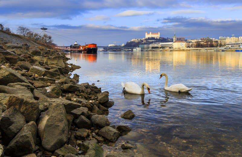Amanti delle coppie del cigno sul castello di Bratislava, del Danubio e sulla st mA fotografia stock