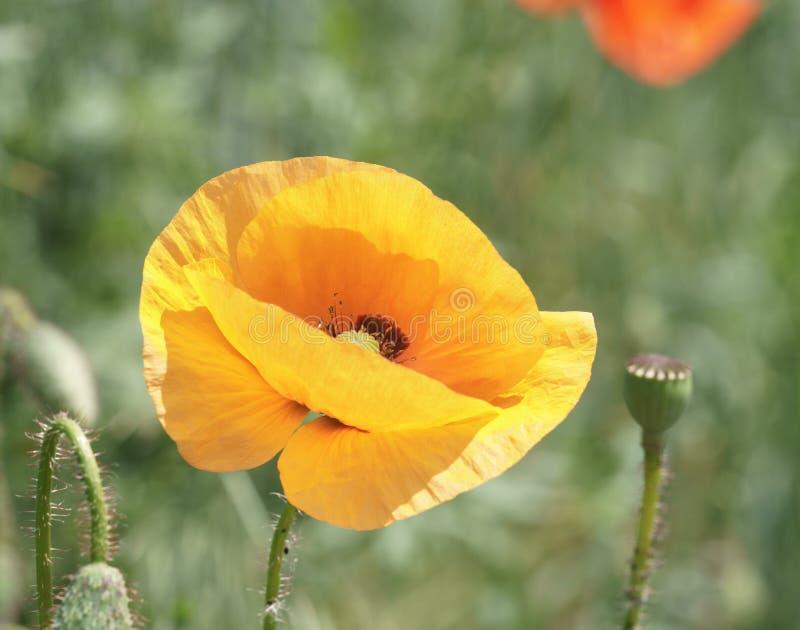 Amapola anaranjada sola en un fondo de la hierba verde Flor brillante y jugosa, las semillas cuyo sea ampliamente utilizado en me foto de archivo libre de regalías